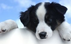 All the things I admire about the Exuberant Australian Shepherd Dogs Baby Puppies, Baby Dogs, Dogs And Puppies, White Puppies, Australian Shepherds, Border Collie Welpen, Sheep Dog Puppy, Dog Cat, Black Puppy
