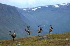 Reindeer in Sarek National Park, Sweden
