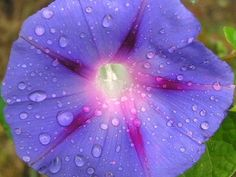 7 Tips on Growing Morning Glories & These 7 tips on growing Morning Glories should help you to grow lots of beautiful flowers this summer, whichever type of Morning Glory you … Container Gardening, Gardening Tips, Morning Glory Flowers, My Secret Garden, Dream Garden, Lawn And Garden, Trees To Plant, Garden Plants, Garden Landscaping