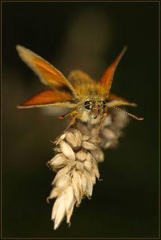 Skipper butterfly by Gary Thurgood