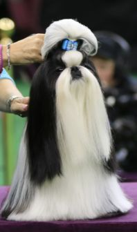 Shih Tzu WKC winner http://talenthounds.ca/news/wordless-wednesday/cj-wins-best-in-show-at-westminster-kennel-club-dog-show/