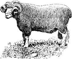 Dorset-Horn Ram