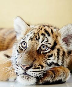 The tiger cubs at Chiang Mai's Tiger Kingdom have stolen many travellers' hearts.
