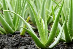 What should be considered while growing Aloe Vera? What should be considered while growing Aloe Vera? The aloe vera plant has become one of the most recognized and most recently …