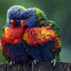 Beautiful Rainbow Lorikeets