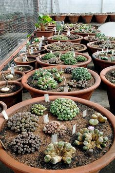 The most amazing collection of succulents I've ever seen! No plant list which is a shame but stunning photos of conos, lithops, mesembs in general, cacti and caudex