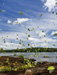 Butterflies (Mariposas)   Iguazú   Misiones   Argentina