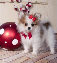 Cute Little Fluffy Pomeranian Puppy - Aww, I want! Cute Little Puppies, Cute Puppies, Cute Dogs, Dogs And Puppies, Doggies, White Pomeranian Puppies, Teacup Pomeranian, Christmas Puppy, Christmas Animals