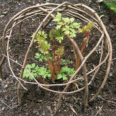 Instant protection for perennials  Don't watch on as just planted perennials get trampled or suffer broken stems! With just a handful ofpliable branches, you can make easy, long-lasting coverage for new growth. #GardenGate