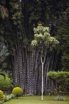 Peradeniya Botanical gardens Kandy #VisitSriLanka