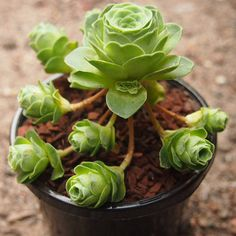 10pcs Greenovia Succulent Plants Seeds Garden Crassulaceae Perennial Herb The plants like a budding rose flower. Drought-enduring plants, it should not be frequently watered. Description: Species: Crassulaceae Family: Aeonium Scientific Na...