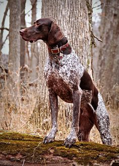 Handsome GSP - Mr. Raider Man by JaderBug12, via Flickr