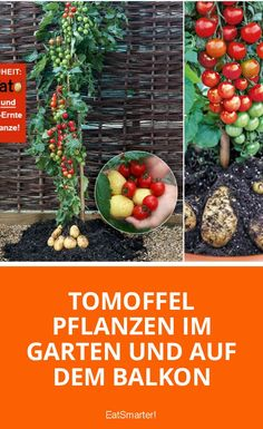 Pflanz-Tipps für die Tomoffel = Tomate + Kartoffel Planting potatoes in the garden and on the balcony Potato Gardening, Planting Potatoes, Planting Vegetables, Growing Vegetables, Vegetable Garden, Gardening Tips, Growing Potatoes In Bags, Grow Potatoes In Container, How To Store Potatoes