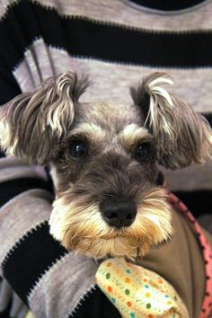 How adorable is this sweet little mini schnauzer❤️