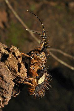 Longhorn Beetle (Arctolamia fasciata, Lamiinae, Cerambycidae)