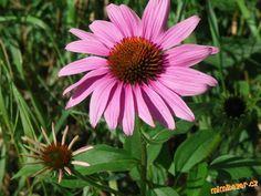 Zázračná třapatka Nachos, Herb Garden, Herbs, Plants, Medicine, Herb, Flora, Plant, Tortilla Chips