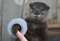 I want to shake hands with a otter! Yup, you can shake hands with an otter at Keikyu Aburatsubo Marine Park, Miura City, Japan >>> Love it! I want to shake hands with an otter! Baby Animals, Funny Animals, Cute Animals, Otters Funny, Nature Animals, Wild Animals, Animal Pictures, Funny Pictures, Funniest Pictures
