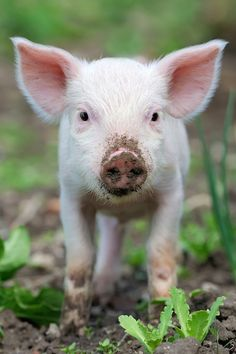 8 Amazing Facts That Prove Pigs Are Too Sweet to Eat (PHOTOS) - ChooseVeg.com