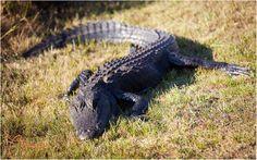 Alligator in the Okefenokee Swamp. Photo by  Georgia Conservancy member Phuc Dao. #animals #alligator #Georgia #ThisismyGA