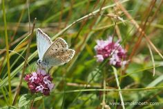 A male Chalk Hill Blue Butterfly, or Polyommatus coridon, feeding on Origanum vulgare, also known as wild marjoram, at Pewley Down Nature Reserve in Guildford.