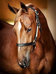 http://cavalliwineandstudfarm.com/equine/horses