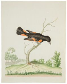bird illustrations 17th centurary - Google Search