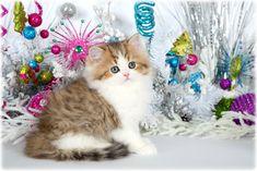 Golden & White Teacup Persian Kitten