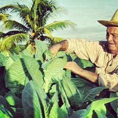 El origen del #Habano | Plantación de Tabaco de Sol