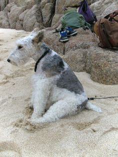 This is my lovely dog Archie. Fox Terriers, Chien Fox Terrier, Wirehaired Fox Terrier, Wire Fox Terrier, Cute Cats And Dogs, Dogs And Puppies, Doggies, Dog Photos, Dog Pictures