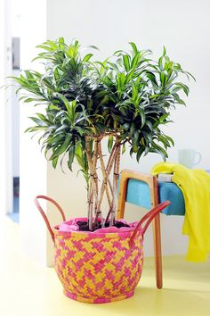 tree in the decorative basket Indoor Garden, Indoor Plants, Dragon Tree, Basket Decoration, Plantation, Straw Bag, Exterior, Magazine, Gardens