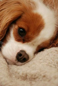 How cute is this face!!! Absolutely in love #cavalier#kingcharles#spaniel