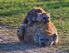Mother Hyena with her baby laying on top of her.