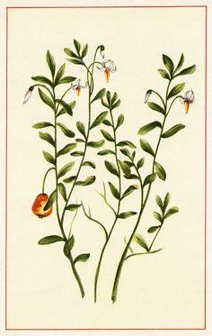 Vintage Botanical Flower Illustration