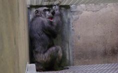 After 17 Years in Captivity, Lab Chimp Finds Freedom and a New Baby Doll