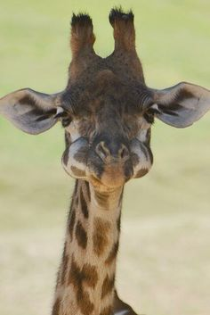 Baby giraffe with its mouth full of food!