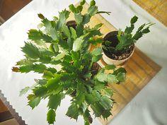Rozmnażanie grudnika to bardzo prosta sprawa.Wystarczy trochę chęci aby cieszyć się młodymi egzemplarzami tej pięknie kwitnącej roślinki.A warto ją co jakiś czas wyprowadzać na nowo,bo młode obficiej kwitną,są gęściejsze,bardziej zwarte i ładniejsze. Home Flowers, Bulb Flowers, Potted Plants, Gardening Tips, Diy And Crafts, Flora, Herbs, Pergola, Landscape