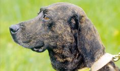 The Plott is first and foremost a hunting dog who specializes in big game or anything else you want him to go after. For the person who can satisfy his desir...