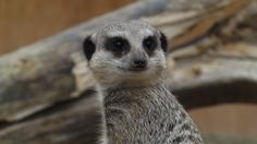 Meerkat at Wild Place Project