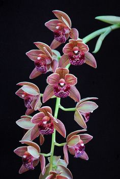 Paph Concolor X Paph Good Royal Orchid Flowers 1 Pinterest