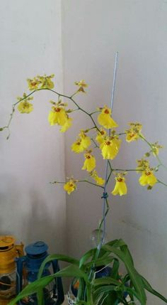 #Orquidea amarela