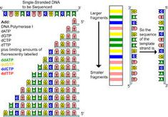 DNA sequencing is determining the exact order of the base pairs in a segment of DNA. Genetics, Dna, Templates, Chain, Image, Stencils, Template, Chains, Patterns