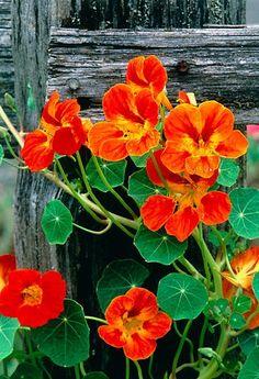 Nasturtium ~ edible flowers - my mom use to grow these in her flower garden Orange Flowers, Wild Flowers, Beautiful Flowers, Beautiful Things, Flowers Uk, My Secret Garden, Edible Flowers, Edible Plants, Baskets On Wall