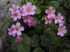 flor de trevo