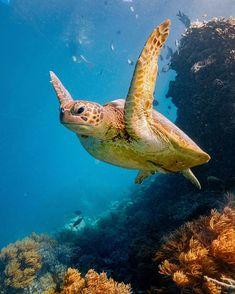 Sea Turtle Beautiful Lion, Animals Beautiful, Beautiful Sunset, Beautiful Things, Water Animals, Zoo Animals, Baby Turtles, Sea Turtles, Tortoise Turtle