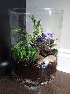 Open terrarium with African Violet, Baby Tears (Soleirolia soleirolii) and Button Fern.