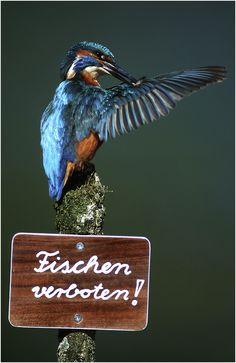 Martin-pêcheur - fischen verboten