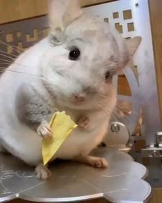 Lunch is potato chips - animals & pets,lunch,french fries,cute animals Cute Little Animals, Cute Funny Animals, Cute Cats, Cute Animal Videos, Funny Animal Pictures, Happy Animals, Animals And Pets, Chinchilla Cute, Cute Baby Bunnies