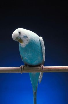 My new bird, Skyler, looks very similar to this but she has more bars on her head and her blue is sky blue.