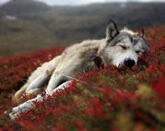 Wonderful All About The Siberian Husky Ideas. Prodigious All About The Siberian Husky Ideas. Beautiful Wolves, Most Beautiful Animals, Beautiful Creatures, Beautiful Pictures, Wolves In Love, Animals Amazing, Amazing Dogs, Beautiful Beautiful, It's Amazing