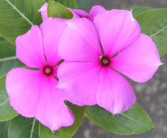 Pink Vinca Flowers - local to Jamaica
